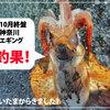 【10月終盤】神奈川エギング釣果