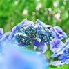 見上げる紫陽花を明月院で | LUMIX12-60mm