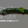 172食目「きゅうりから葉っぱが!?」突然変異と地元種なきゅうり
