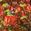 紅葉の中のノアサガオ