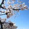 多摩川桜百景 -おわりに-