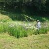 田布施の菖蒲畑