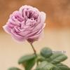 12月のバラ【カインダブルー】