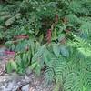 マルミノヤマゴボウの赤紫