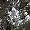 桜 が いいっすな ~ 日曜日が楽しみ(^.^)