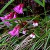 高山植物(ツガザクラとイワカガミ)