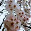 広島は桜前線全開か?
