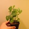 イベルビレア・テヌイセクタの蔓がどんどん伸びてきている。