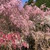 花桃の里の美しさに圧倒されました 「ばらとながぐつ」の消毒剤