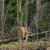 【一日一枚写真】蝦夷鹿【一眼レフ】