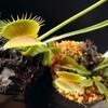 Dionaea 'FTS Big Behemoth'