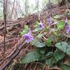 4/29      藤倉山④ 花や木たちを眺めながら下る。