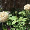 ミニバラに新たなつぼみも夏バテ&葉が焼けてまたもや危機か?