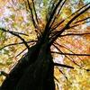メタセコイアの紅葉真っ盛り