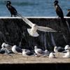 銚子漁港の護岸に舞い降りるカモメ