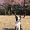 河津桜とかいぼり