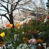 桜と花壇とうさぎのおじさん笑
