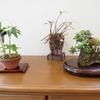 〈レインボークラブ〉ミニ盆栽及び山野草の栽培について(第1回) ~西嵜盆栽店だより~