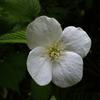 シロヤマブキの花