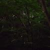 「ホタル」の撮影 2021年6月15日 その2 (機材: LAOWA 17mm F1.8 MFT、OLYMPUS PEN Lite E-PL3、三脚 SLIK PRO804CF 、自由雲台 Velbon PH-263  )