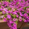 咲き乱れるサフィニア