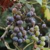 ブドウも収穫してやらないとね