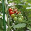 太陽いっぱい浴びたキュウリとトマト
