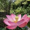 【鎌倉いいね】あじさいの次は?美しすぎるピンクに会える。
