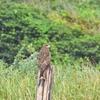 おはるちゃんパパの野鳥図鑑#2 トビ