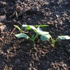 ダイコンの芽が出ました