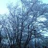 春  桜  最終楽章です!(NO.4)