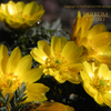 Seasonal flower in Japan 「Fukujyuso/Adonis ramosa」   季節の花