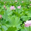 【見頃、開花時間は?】まるで極楽浄土!蓮の花が咲く不忍池は上野の夏の風物詩
