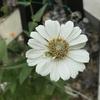 ジニア  花の色