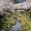 一の坂川:桜⑥
