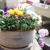 冬の寄せ植えに最適な植物 入荷してます♪(∩´∀`)∩