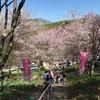桜見に行きますか