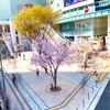 新宿駅東南口の桜