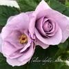 """【庭】Rosa.min """" Morning Blue Optima """""""