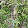 レモンとリンゴの枝を横に伸びる様に矯正 2011/05/03