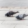 ハトが首を振って歩くのは目がついている位置に関係している?