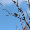 秋空に飛ぶメジロ