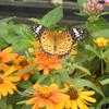 ツマグロヒョウモン蝶が孵化したみたいだ