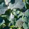 ブロッコリーのわき芽
