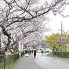 令和の発表の日、雨の背割堤で桜を見ました。