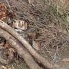 栗の木の剪定枝 並べて干しておく Pruned branches of the chestnut tree