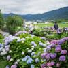 農道を彩る紫陽花 開成町 #1