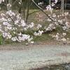 右足首の脱臼と骨折(骨折後57日目、手術後46日目)と桜の開花