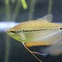 綺麗な熱帯魚パールグラミーの飼育