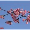 桜だより~河津桜見頃、満開へ、馬見丘陵公園